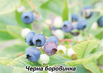 Chervena borovinka i разширени вени